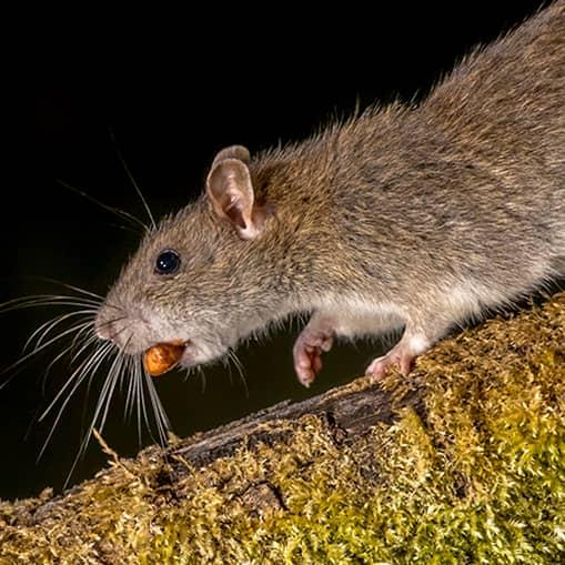 Byagers Brolægning tilbyder rottespærrer